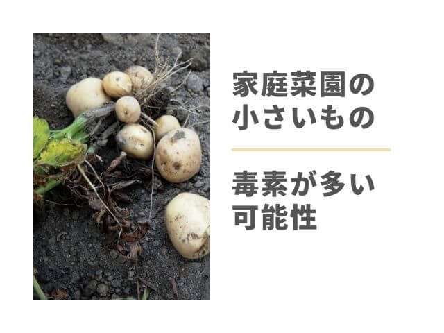 掘ったばかりのじゃがいもの写真 家庭菜園の小さいもの 毒素が多い可能性
